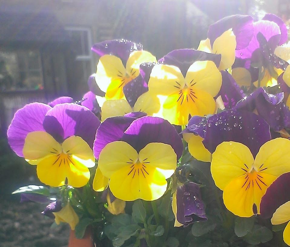 теменужки живи цветя